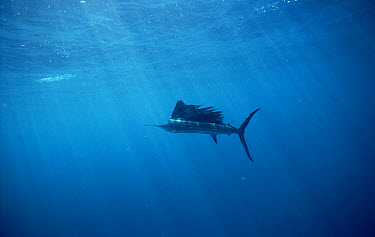 Pacific Sailfish (Istiophorus platypterus) underwater profile, fastest fish clocked at 68 miles per hour or 110 kilometers per hour, Sea of Cortez, Baja California, Mexico  -  Norbert Wu