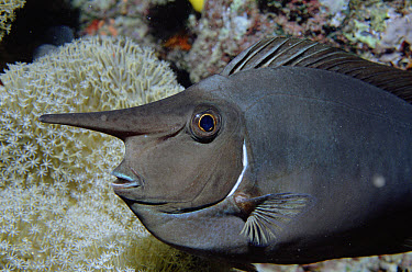 Whitemargin Unicornfish (Naso annulatus) long horn has unknown function, Fiji  -  Norbert Wu