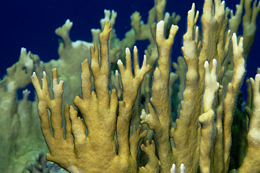 Fire Coral (Millepora alcicornis) a hydrocoral, stings fiercely on contact, Caribbean  -  Norbert Wu
