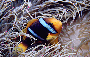 Orange-fin Anemonefish (Amphiprion chrysopterus) seeks shelter in Giant Anemone's stinging tentacles, Fiji  -  Norbert Wu