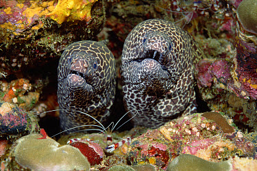 Honeycomb Moray Eel (Gymnothorax favagineus), Burma Banks, Thailand  -  Norbert Wu