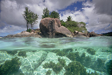 Casuarina (Casuarina equisetifolia) trees on Granite Island, Seychelles, Indian ocean  -  Norbert Wu