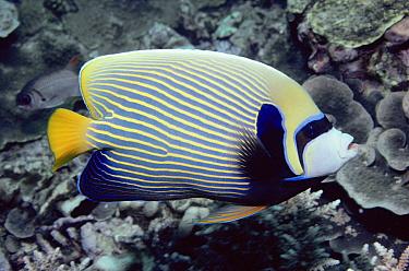 Emperor Angelfish (Pomacanthus imperator), Seychelles, Indian Ocean  -  Norbert Wu