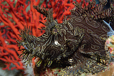 Merlet's Scorpionfish (Rhinopias aphanes) camouflage mimics Sea Fans and Crinoids of its coral reef habitat, Papua New Guinea  -  Norbert Wu