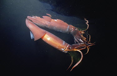 Humboldt Squid (Dosidicus gigas) reaches five feet and 50 pounds, a voracious carnivore, Sea of Cortez, Baja California, Mexico  -  Norbert Wu