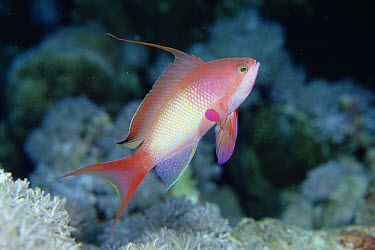 Sea Goldie (Pseudanthias squamipinnis) male, Red Sea  -  Norbert Wu