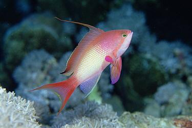 Sea Goldie (Pseudanthias squamipinnis) male, Red Sea  -  Norbert Wu