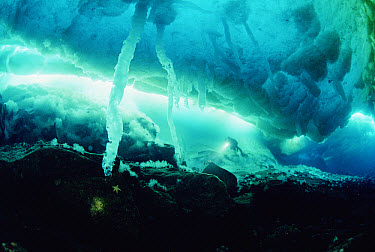Scuba diver exploring sea ice stalactites or brine channels, Antarctica  -  Norbert Wu