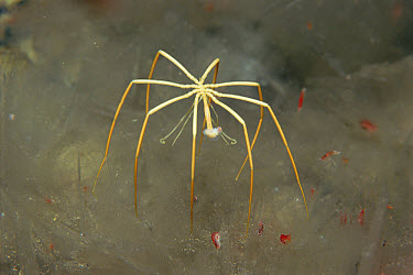 Sea Spider (Colossendeis megalonyx) on anchor ice, Antarctica  -  Norbert Wu