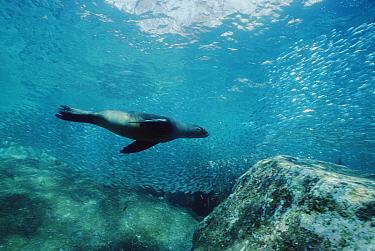 California Sea Lion (Zalophus californianus) surrounded by baitfish, Sea of Cortez, Baja California, Mexico  -  Norbert Wu