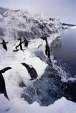 Adelie Penguin (Pygoscelis adeliae) group returns to rookery to relieve their mates that are brooding on nests, Cape Bird, Antarctica  -  Norbert Wu