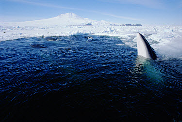 Antarctic Minke Whale (Balaenoptera bonaerensis) spyhopping, swims under ice edge in search of plankton, McMurdo Sound, Antarctica  -  Norbert Wu