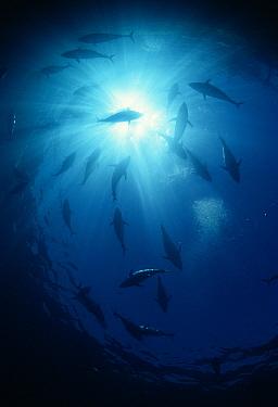 Southern Bluefin Tuna (Thunnus maccoyii) schooling overhead, South Australia  -  Norbert Wu