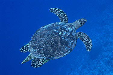 Green Sea Turtle (Chelonia mydas) swimming through open ocean, Palau  -  Norbert Wu