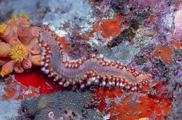 Marine Fireworm (Hermodice carunculata) a Bristleworm that stings fiercely, Caribbean  -  Norbert Wu