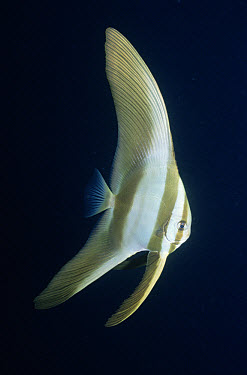 Batfish (Platax sp) juvenile will change shape as it becomes adult, Palau  -  Norbert Wu