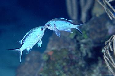 Damselfish (Chromis sp) pair fighting for territory or a mate, Roatan, Honduras  -  Norbert Wu