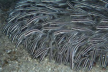 Striped Catfish (Plotosus lineatus) school of venomous juveniles feeding, Sulawesi, Indonesia  -  Norbert Wu
