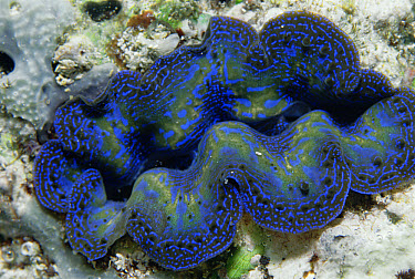Giant Clam (Tridacna sp) has symbiotic algae within mantle for photosynthesis, Sangalakki Island, Borneo  -  Norbert Wu