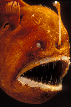 Humpback Anglerfish (Melanocetus johnsoni) deep sea species showing fishing pole with bioluminescent lure used to attract prey  -  Norbert Wu