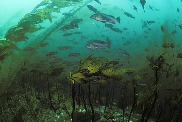 Blue Rockfish (Sebastes mystinus) among kelp forest, Queen Charlotte Islands, Canada  -  Norbert Wu