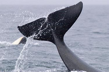 Orca (Orcinus orca) tail slap, southeast Alaska  -  Flip  Nicklin