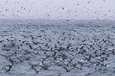 Sooty Shearwater (Puffinus griseus) flocking over schooling herring, Southeast Alaska  -  Flip  Nicklin