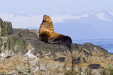 Steller's Sea Lion (Eumetopias jubatus) sunning on rock, southeast Alaska  -  Flip  Nicklin