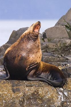 Steller's Sea Lion (Eumetopias jubatus) barking, southeast Alaska  -  Flip  Nicklin