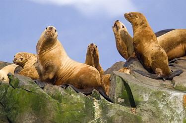 Steller's Sea Lion (Eumetopias jubatus) group sunning, southeast Alaska  -  Flip  Nicklin