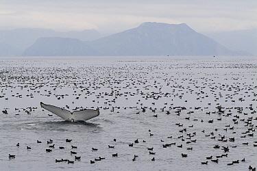 Humpback Whale (Megaptera novaeangliae) diving amid flocking seabrids that are feeding on herring, Aleutian Islands, Alaska  -  Flip  Nicklin