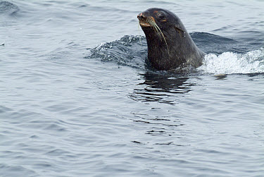 Steller's Sea Lion (Eumetopias jubatus) swimming, southeast Alaska  -  Flip  Nicklin