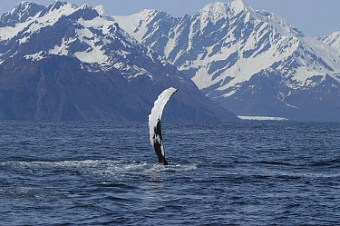 Humpback Whale (Megaptera novaeangliae) flipper slap, vulnerable, southeast Alaska  -  Flip  Nicklin