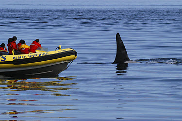 Orca (Orcinus orca) whale watching boat, southeast Alaska  -  Flip  Nicklin