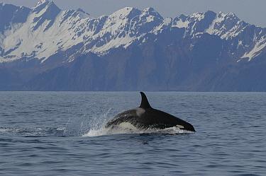 Orca (Orcinus orca) porpoising, southeast Alaska  -  Flip  Nicklin
