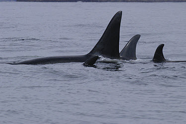 Orca (Orcinus orca) pod, southeast Alaska  -  Flip  Nicklin