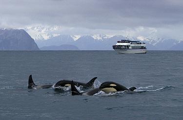 Orca (Orcinus orca) pod in front of an ocean liner, southeast Alaska  -  Flip  Nicklin