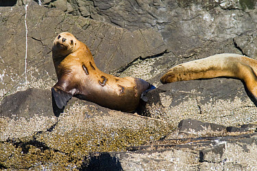 Steller's Sea Lion (Eumetopias jubatus) pair hauled out with one showing research brands, southeast Alaska  -  Flip  Nicklin