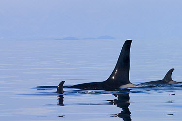 Orca (Orcinus orca) pod with calf surfacing, southeast Alaska  -  Flip  Nicklin