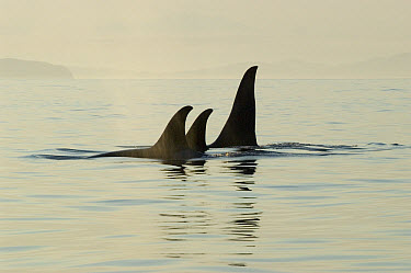 Orca (Orcinus orca) pod surfacing, southeast Alaska  -  Flip  Nicklin