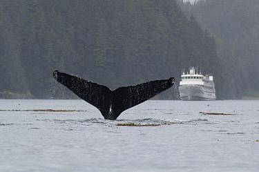Humpback Whale (Megaptera novaeangliae) tail in front of cruise ship, vulnerable, southeast Alaska  -  Flip  Nicklin