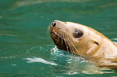 Steller's Sea Lion (Eumetopias jubatus) individual swimming, Alaska  -  Flip  Nicklin