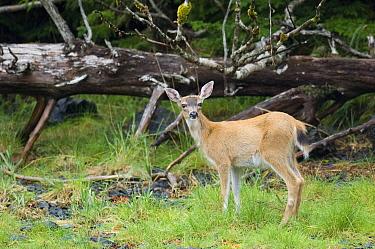 White-tailed Deer (Odocoileus virginianus) doe at forest edge, southeast Alaska  -  Flip  Nicklin
