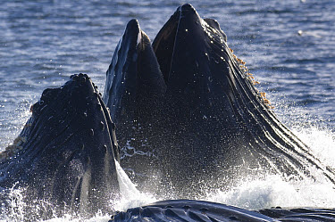 Humpback Whale (Megaptera novaeangliae) pod cooperative feeding, vulnerable, southeast Alaska  -  Flip  Nicklin
