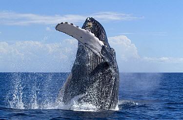 Humpback Whale (Megaptera novaeangliae) breaching, Humpback Whale National Marine Sanctuary, Maui, Hawaii - notice must accompany publication; photo obtained under NMFS permit 0753-1599  -  Flip  Nicklin