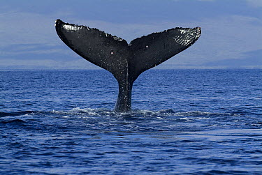 Humpback Whale (Megaptera novaeangliae) tail lob, Humpback Whale National Marine Sanctuary, Maui, Hawaii - notice must accompany publication; photo obtained under NMFS permit 0753-1599  -  Flip  Nicklin