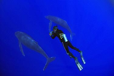 Researcher Jason Sturgis of Whale Trust filming Humpback Whale (Megaptera novaeangliae), Humpback Whale National Marine Sanctuary, Maui, Hawaii - notice must accompany publication; photo obtained unde...  -  Flip  Nicklin