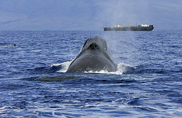 Humpback Whale (Megaptera novaeangliae) spouting near ship, Humpback Whale National Marine Sanctuary, Maui, Hawaii - notice must accompany publication; photo obtained under NMFS permit 0753-1599  -  Flip  Nicklin