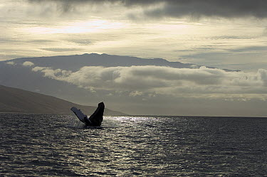 Humpback Whale (Megaptera novaeangliae) breaching, Humpback Whale National Marine Sanctuary, Maui, Hawaii - notice must accompany publication; photo obtained under NMFS permit 0753-1599  -  Flip  Nicklin