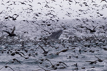 Humpback Whale (Megaptera novaeangliae) with mixed flock of mostly Sooty Shearwaters (Puffinus griseus) feeding, Alaska  -  Flip  Nicklin